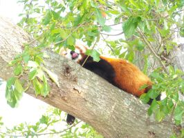 VA Zoo Raw- Red Panda 2 by Loved-is-a-Leo