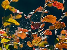 Spider web between the red leafs by rockmylife