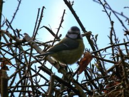 fluffy bluetit by harrietbaxter