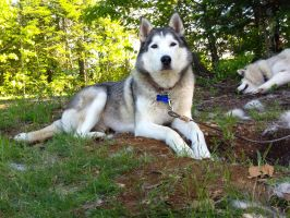 Return of the Lawn Husky by t-subgenius