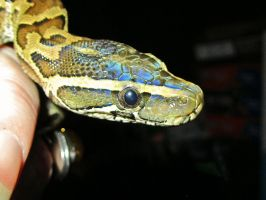 Little African Rock Python by pitbulllady