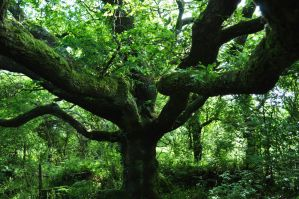 the Mighty oak by Estruda