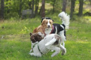 Dogs playing by Spetsflickan