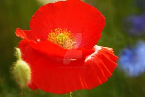 Poppy up close and bud by houstonryan