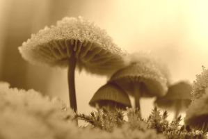 Frosty kristal mushrooms in the morning sun 5 by MT-Photografien