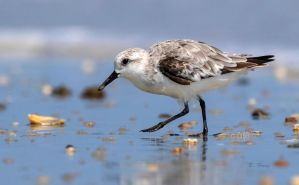 Sanderling by Grouper