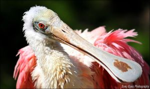 Roseate spoonbill. by Evey-Eyes