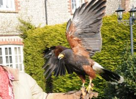 Harris Hawk Stock 8 by LRG-Photography