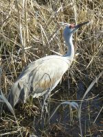 Sand Hill Crane 1 by otakuhobbit