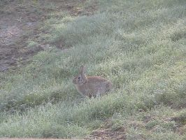 Early Riser - Wild Rabbit by AirTyler