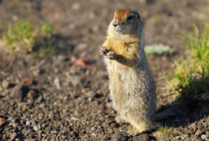 Arctic ground squirrel by Rogue-alien