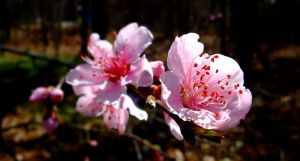 Peach Bloom by Tickle-Your-Fancy