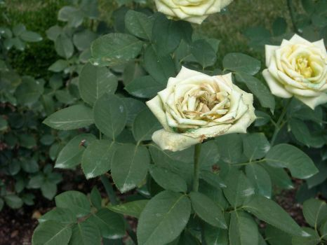 Yellow Rose dying by seadew