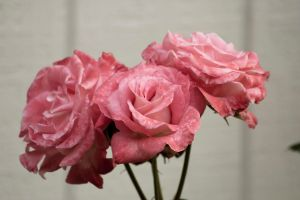 Three Pink Roses by designerfied