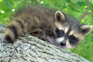 Raccoon II by amava1021