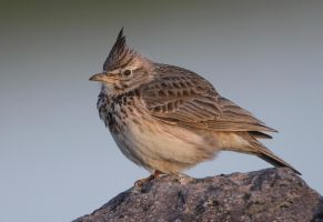 Chillin' out - Crested Lark by Jamie-MacArthur