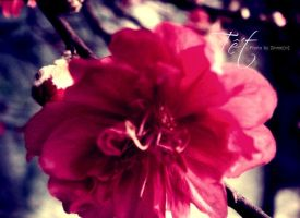 Peach blossom by ZinnieN