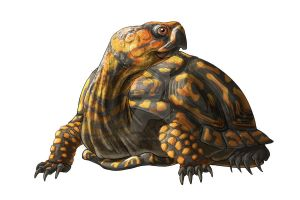 Box Turtle by elizabethnixon