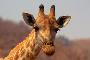 Giraffe face by cathy001