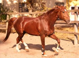 Chestnut stallion - Vajk II. by LadyAyslinn