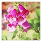 Foxglove by theonlysong
