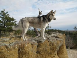 Husky overlooking the world II by Lesh4537