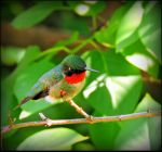 A Male Hummingbird by JocelyneR