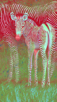 Colorful Zebras by ghostcharmer