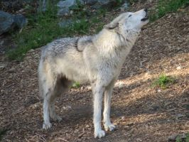 Wolf pic 2 by ChasingDreams4