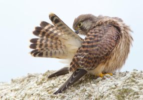Preening time - Common Kestrel by Jamie-MacArthur