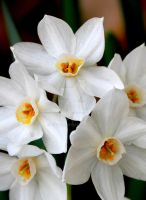 Paperwhites by kimboj