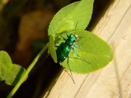 Tiger Beetle on Clover by SlateGray