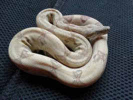 Elvira: Boa Constrictor Stock by celorie