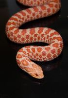 Extreme Red Albino Hognose by Phoenix-Cry