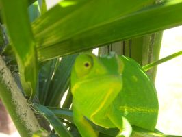 come on chameleon by ALFAGTBLACKBERRY