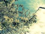 Cherry tree - 1st by Vavi-Z