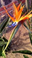 Bird of Paradise by LaYegua
