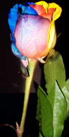 RAINBOW ROSE2 by MindlessAngel