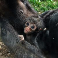 Spider monkey baby. by quaddie