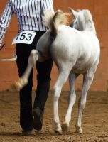 STOCK - 2014 Welsh QLD Show-135 by fillyrox