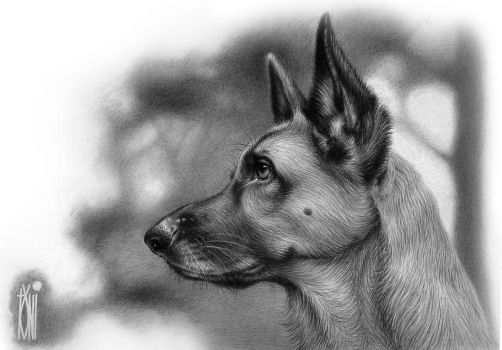 German shepherd by toniart57