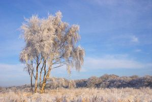 Silverbirch snow by scotto