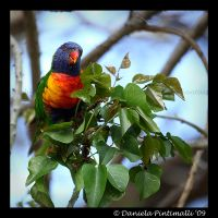 Rainbow Lorikeet by TVD-Photography