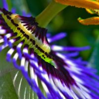Passion flower by haakenson