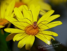 Young Female Harvestman on Flower by TheFunnySpider