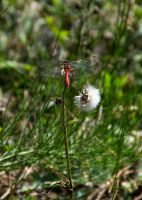 dragonfly 1 by fot-ciosek