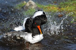 Oystercatcher Bath by Shadow-and-Flame-86