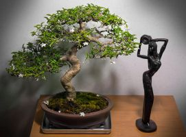 My Wrightia Religiosa Bonsai by astra888