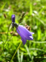 Harebell flower by Sabbie89
