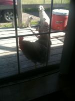 Rooster in the window by Annaley